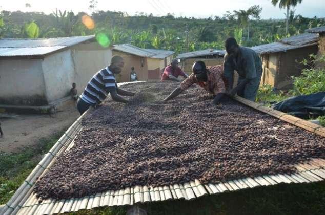 Asciugatura delle fave di cacao